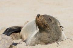Seal Stock Photo