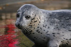 Seal. Young seal in a zoo in Holland Stock Photography
