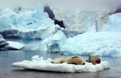 SEAL. A seal with Icebergs in Antarctica Stock Photography
