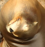 Seal. Relaxing in the sun Stock Image
