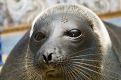 Free Seal A Close Up Royalty Free Stock Photos - 5900188