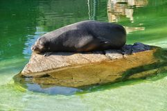 Sleeping Sea Lion Royalty Free Stock Photography