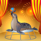 The seal acts in a circus. Seal is playing at the circus with the ball Stock Image