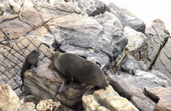 Seal adult with pup. This photograph features two New Zealand fur seals, an adult and a young pup, engaged in a 'conversation.' Location: Admirals Arch on Royalty Free Stock Photo