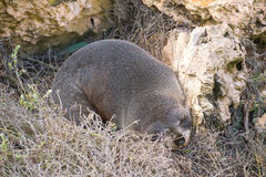 Seal amongst rocks and Vegetation. A seals rests amongst rocks and vegetation at Admirals Arch on Kangaroo Island in South Australia Stock Photography