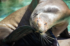 Seal Animal Stock Images