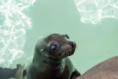 Seal Animal Royalty Free Stock Images