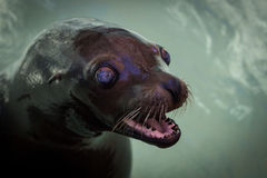 Seal. Animal All true s are members of the family Phocidae royalty free stock photo