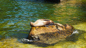 Seal animal on a rock Royalty Free Stock Photo