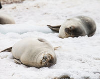 Seal animals Stock Images