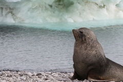 Seal in Antarctica Royalty Free Stock Photo