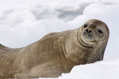Seal in Antarctica Royalty Free Stock Photos
