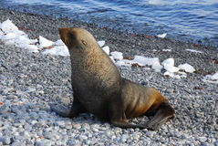 Seal in Antarctica. A Seal on the rocks in Antarctica Stock Image
