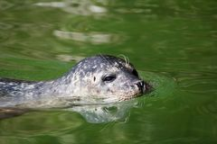 Seal aquatic mammal Stock Image