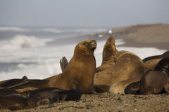 Free Seal At The Beach Royalty Free Stock Images - 4617919