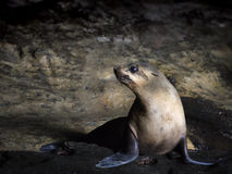 Seal in Australia Stock Images