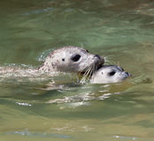 Seal baby swimming Stock Images