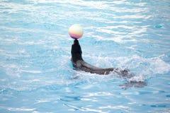 Seal with ball Stock Photos