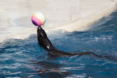 Seal with ball Stock Image