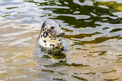 Seal in Baltic sea. Curious seal swimming in Baltic sea Royalty Free Stock Photography