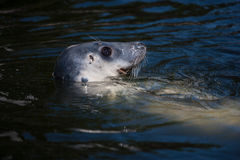 Seal in the Baltic Sea Royalty Free Stock Photo