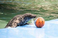 Seal basketball Royalty Free Stock Photos