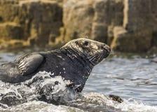 Seal Basking. Grey Seal / Gray Seal / Halichoerus Stock Photos