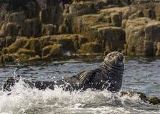 Seal Basking Royalty Free Stock Image