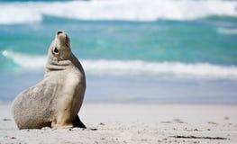 Seal Bay stock image