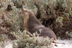 A femalee  Australian Sea Lion on  the beach ,South Australia Stock Photo