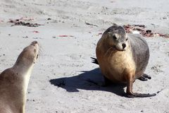 Two   female  Australian Sea Lion at Seal Bay Kangaroo Island ,South Australia Stock Image