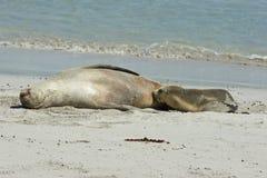 Seal Bay, Kangaroo Island, Australia Stock Image