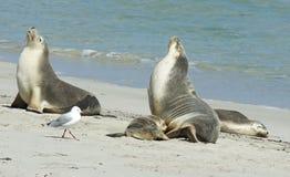 Seal Bay, Kangaroo Island, South Australia Stock Photo