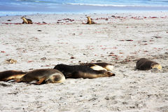 Seal Bay- Sleeping Seals Royalty Free Stock Photography