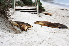 Seal Bay- Sleeping Seals Royalty Free Stock Images