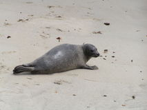Seal on the Beach. Look at the seal on the beach. Isn't he cute Stock Photography