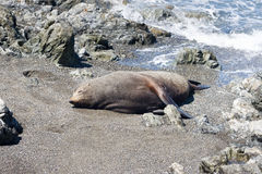 Seal on a beach Royalty Free Stock Photography