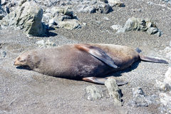 Seal on a beach Stock Photos