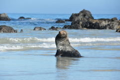 Seal on Beach Royalty Free Stock Photography