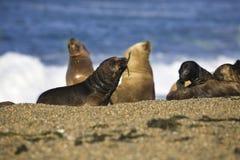 Seal at the beach Royalty Free Stock Image