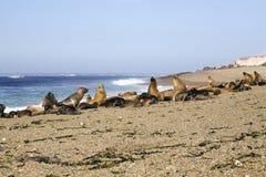 Seal at the beach Royalty Free Stock Photo