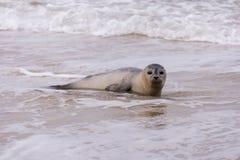 Seal on the Beach of Amrum Stock Image