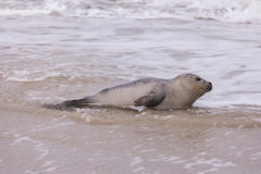 Seal on the Beach of Amrum Royalty Free Stock Image