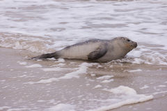Seal on the Beach of Amrum Stock Images