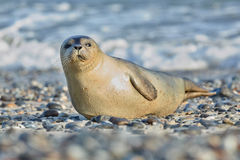 Seal on the beach in dune island near helgoland Stock Image