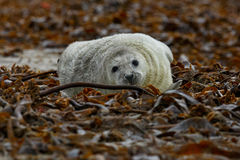 Seal on the beach in dune island near helgoland Royalty Free Stock Images