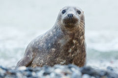 Seal on the beach in dune island near helgoland Royalty Free Stock Image