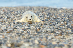 Seal on the beach in dune island near helgoland Royalty Free Stock Photography