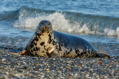 Seal on the beach in dune island near helgoland Stock Photos