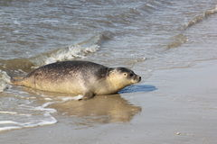 Seal at beach near dutch village of Hollum, Ameland stock photos